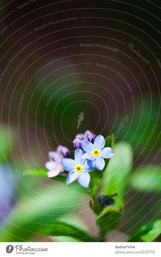Vergissmeinnicht Natur blau grün schön Pflanze Blume Blatt gelb Blüte Frühling elegant ästhetisch rein violett zart Duft