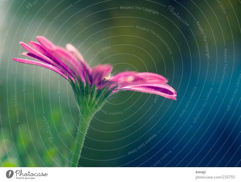 colourflash Natur grün schön Pflanze Blume Blüte violett Blütenblatt