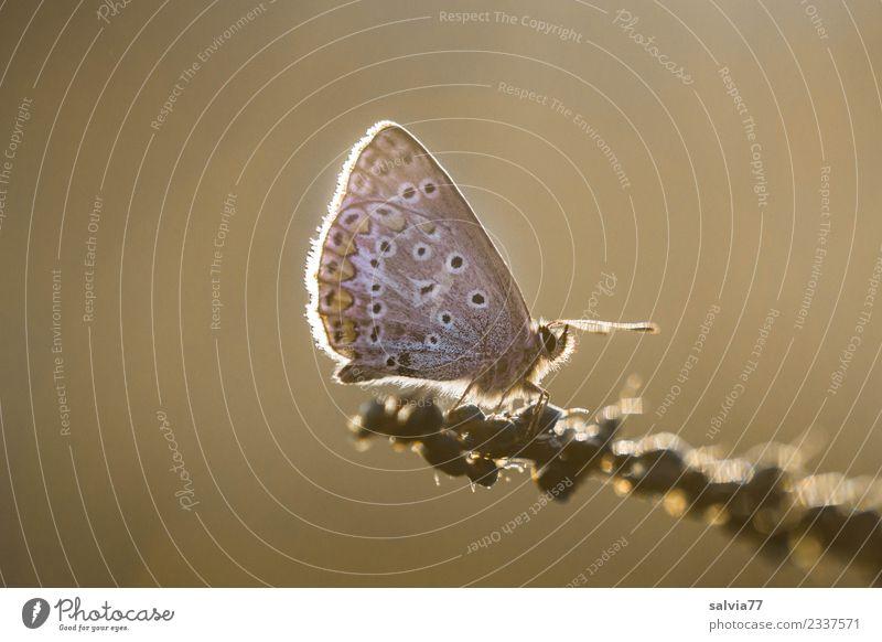 Bläuling im Abendlicht Natur Sommer Erholung Tier ruhig Wärme braun Stimmung Flügel Pause Insekt Schmetterling Leichtigkeit Abendsonne Bläulinge