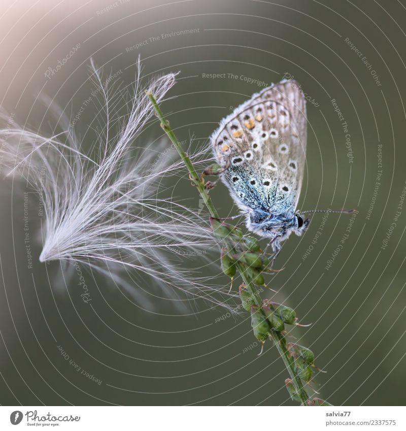 federleicht Natur Pflanze Tier Distelblüte Samen Schmetterling Bläulinge 1 ästhetisch klein weich blau grün weiß einzigartig Idylle Pause ruhig fein filigran