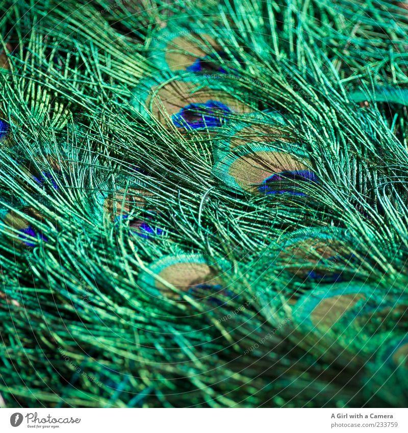 to decorate oneself with foreign feathers ??? blau grün schön Tier Vogel gold elegant glänzend natürlich außergewöhnlich Feder fantastisch Stolz Pfau