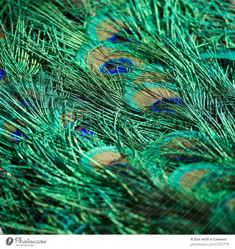 to decorate oneself with foreign feathers ??? Tier Vogel Pfau Pfauenfeder Feder glänzend außergewöhnlich elegant fantastisch schön natürlich blau mehrfarbig