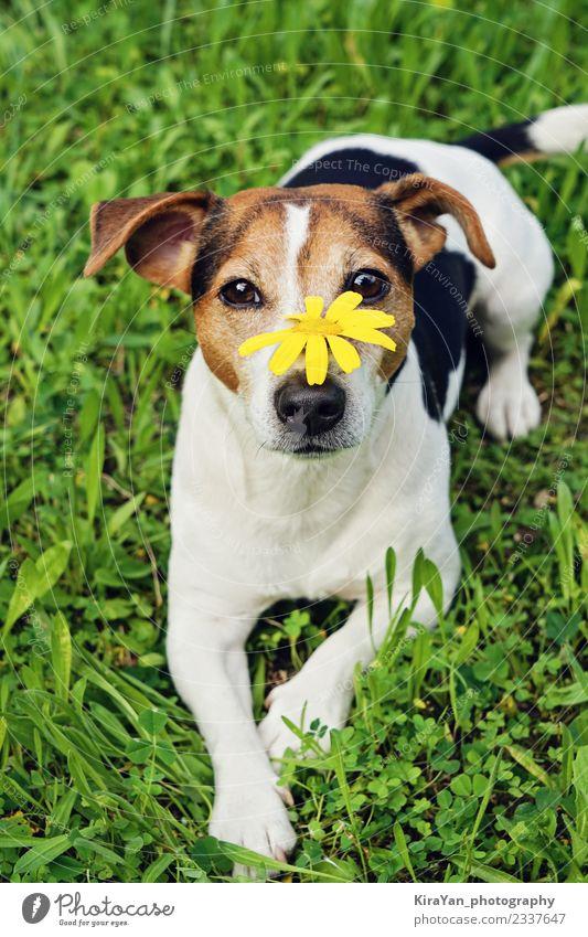 Süßer Hund im grünen Gras mit gelber Blume auf Maulkorb Lifestyle Glück schön Gesundheitswesen Allergie Leben Sommer Garten Natur Tier Blüte Park Haustier