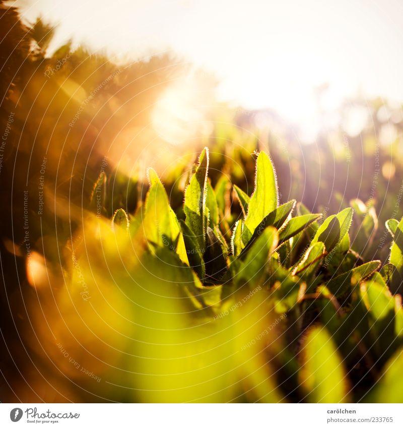 golden Natur grün Pflanze Blatt gelb gold Grünpflanze Sonnenstrahlen Wolliges Habichtskraut