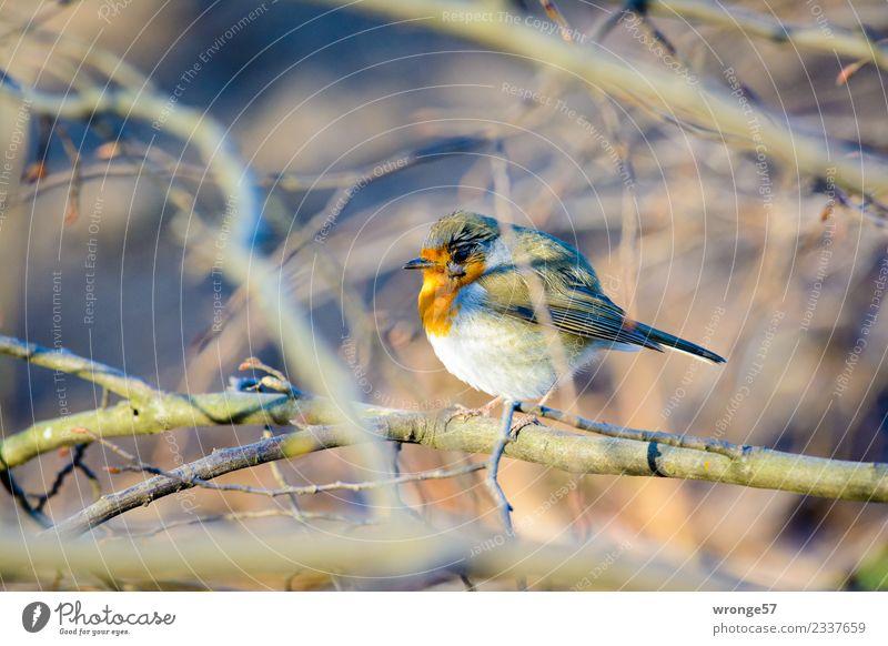 Rotkehlchen sitzt in einem blattlosen Strauch Winter Garten Park Wald Tier Wildtier Vogel 1 braun grau rot Singvögel Sträucher laublos Geäst Farbfoto mehrfarbig