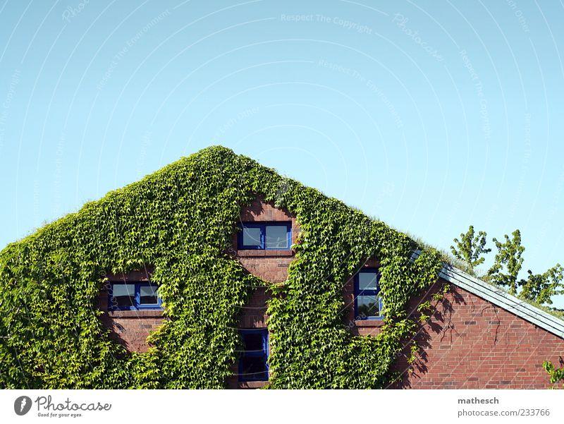 In den Binsen Himmel Wolkenloser Himmel Pflanze Efeu Menschenleer Haus Einfamilienhaus Mauer Wand Fassade Fenster Dach Stein blau grün rot Grasdach bewachsen