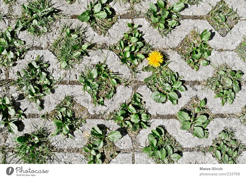 Straßenblümchen grün Pflanze Blume gelb grau Wege & Pfade einzigartig Löwenzahn Toleranz Kontrast Durchsetzungsvermögen