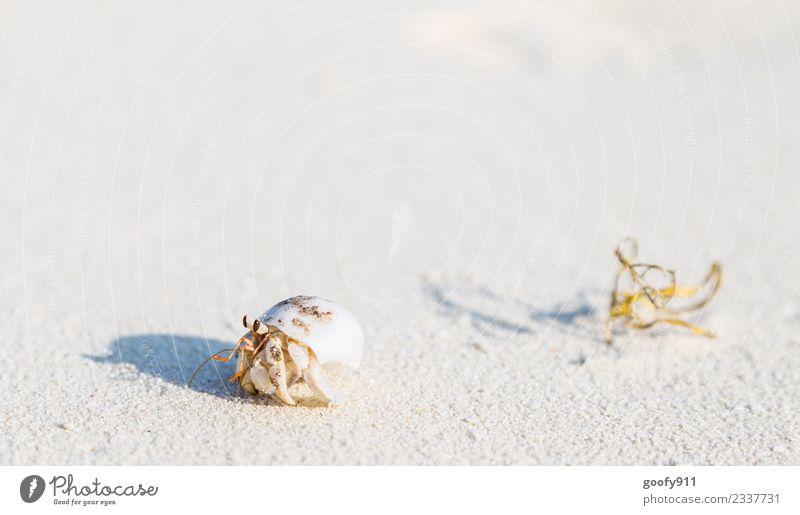 Einsiedlerkrebs Ferien & Urlaub & Reisen Strand Insel Sand Schönes Wetter Küste Malediven Asien Menschenleer Tier Wildtier Muschel Tiergesicht Fährte Krebs 1