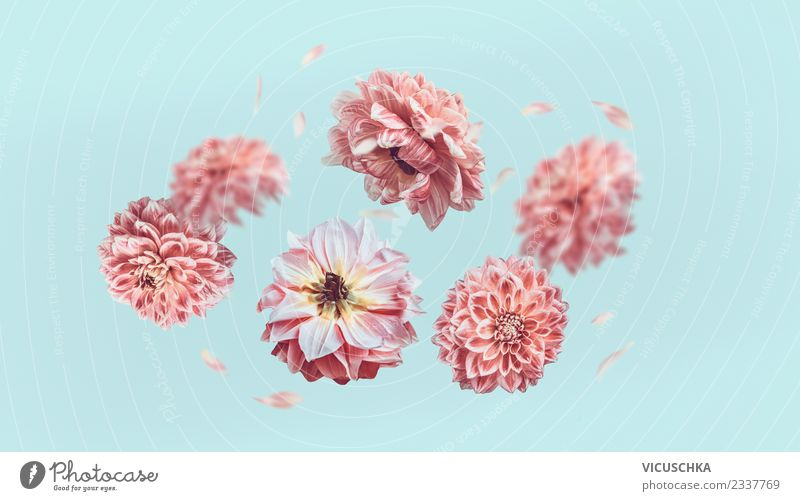 Fliegende pastellrosa Blüten auf hellblauen Hintergrund Natur Pflanze Sommer Blume Blatt Liebe Stil Feste & Feiern fliegen Design Kreativität Zeichen Rose