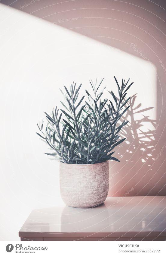 Succulent Zimmerpflanze Senecio Aquarine in weißem Topf Natur Pflanze Fenster Wand Stil Mauer Design Häusliches Leben Wohnung Freizeit & Hobby