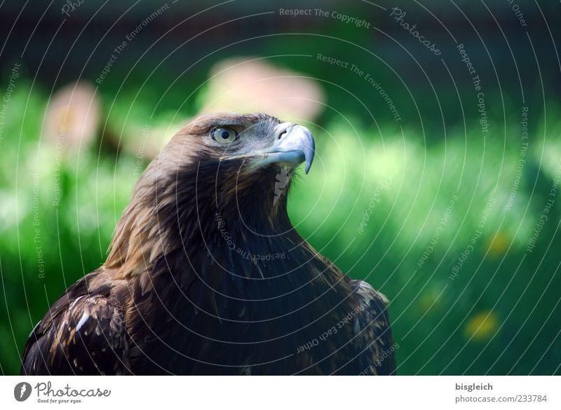 Adlerauge grün Tier braun Kraft Vogel Macht Feder Tiergesicht Zoo Wachsamkeit Schnabel Adler gefiedert Adleraugen
