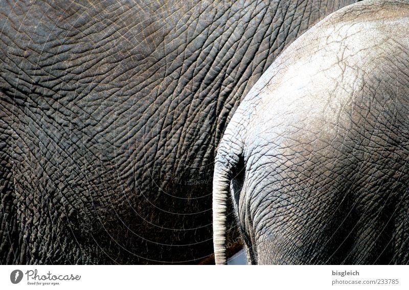 Dickhäuter Tier grau Zusammensein rund stehen Hinterteil Hautfalten Tierhaut Falte Symbole & Metaphern Zusammenhalt Schwanz Elefant Tierjunges Elefantenhaut
