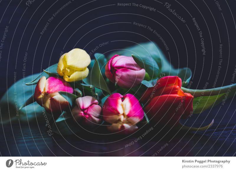 Tulpen Pflanze Frühling Blume Garten Blühend Duft genießen liegen träumen verblüht dehydrieren Wachstum authentisch fantastisch frisch natürlich positiv