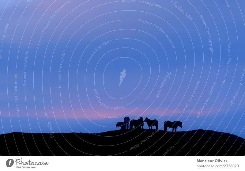Islandponys in der Dämmerung Tier Pferd Ponys Island Ponys Tiergruppe Herde Ferien & Urlaub & Reisen Reisefotografie Sonnenuntergang Nachthimmel Farbfoto