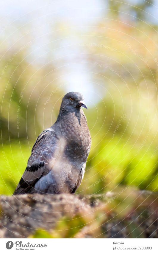 Stadtpirat Natur grün Pflanze Tier ruhig Umwelt grau Kopf Mauer sitzen Wildtier Tiergesicht Taube