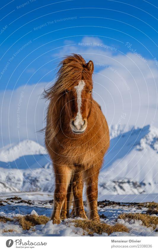 Island Pony Pferd Ponys Island Ponys 1 Tier braun weiß Tierporträt Farbfoto Außenaufnahme Tag