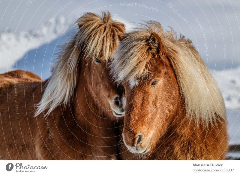 Island Ponys Pferd 2 Tier braun weiß Tierporträt Farbfoto Außenaufnahme Tag Kuscheln Liebe schön