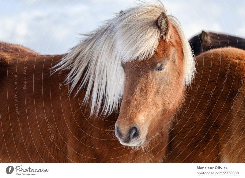 Island Pony Pferd Ponys Island Ponys 1 Tier braun weiß Porträt Farbfoto Außenaufnahme Tag Tierporträt