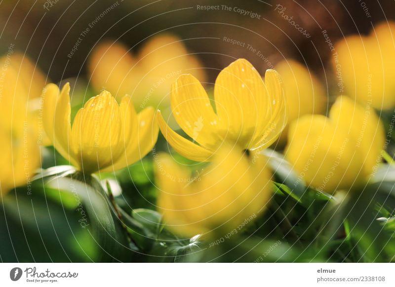 Winterlinge Natur Pflanze Sonne Frühling Schönes Wetter Blume Blüte Blühend leuchten klein schön gelb grün Glück Lebensfreude Frühlingsgefühle Vorfreude