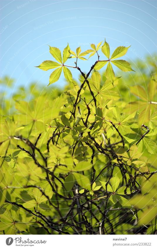verliebter Wein Natur blau grün Pflanze Schönes Wetter Weinblatt