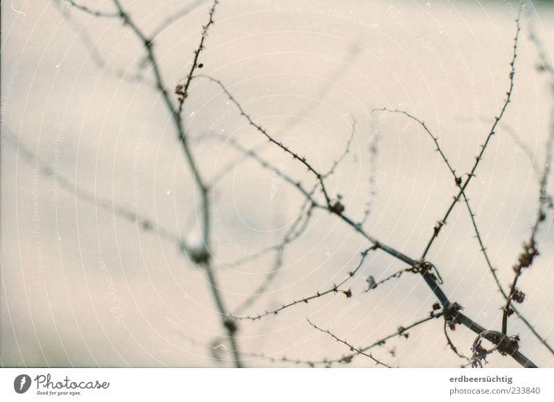 Geäst Umwelt Natur Pflanze Sträucher Wildpflanze Zweig Ast Holz verblüht dehydrieren Wachstum ästhetisch natürlich trocken zart Unschärfe verjüngen