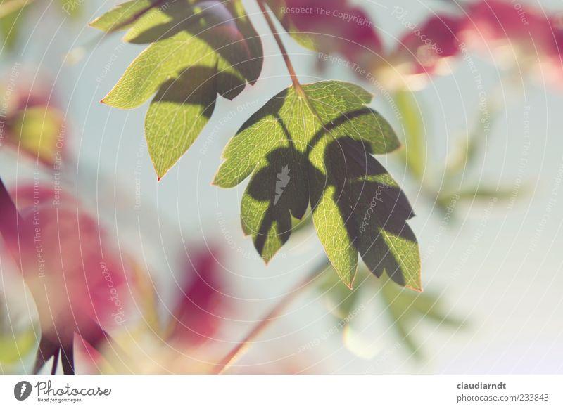 Lamprocapnos Natur Pflanze Schönes Wetter Blume Blatt Blüte Tränendes Herz grün rosa Unschärfe Farbfoto Detailaufnahme Menschenleer Textfreiraum rechts Tag