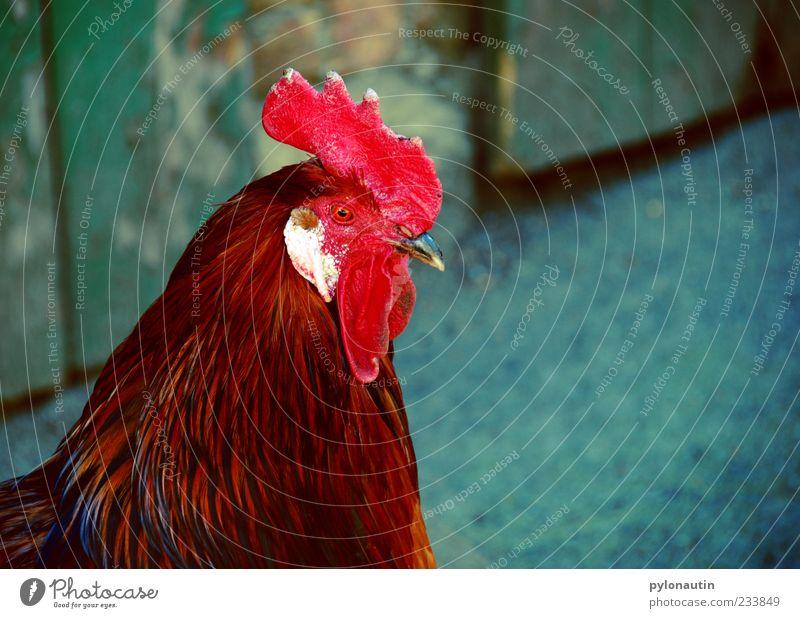 Hahn ohne Korb Tier Nutztier Tiergesicht 1 Neugier Bauernhof Schnabel Feder Landwirtschaft Hahnenkamm Farbfoto Außenaufnahme Textfreiraum rechts Tag