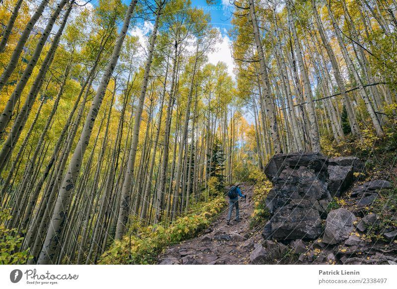Aspenwald im Herbst Ferien & Urlaub & Reisen Natur Pflanze Landschaft Baum ruhig Wald Ferne Berge u. Gebirge Umwelt Wege & Pfade Tourismus Freiheit Ausflug