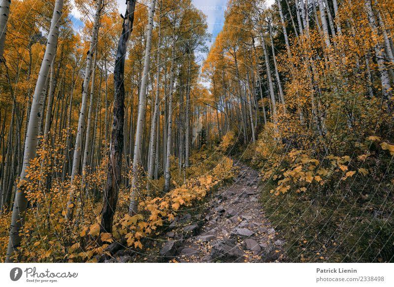 Aspenwald Natur Ferien & Urlaub & Reisen Pflanze Landschaft Baum Wald Herbst Umwelt Tourismus Stimmung Zufriedenheit wandern Wetter Abenteuer Schönes Wetter