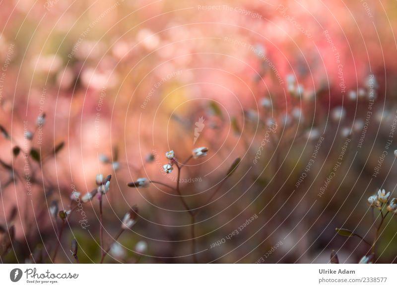 Blüten der Vogelmiere (Stellaria media) Natur Pflanze Frühling Sommer Herbst Wildpflanze Unkraut Heilpflanzen Garten Wiese Feld Blühend frisch Gesundheit wild