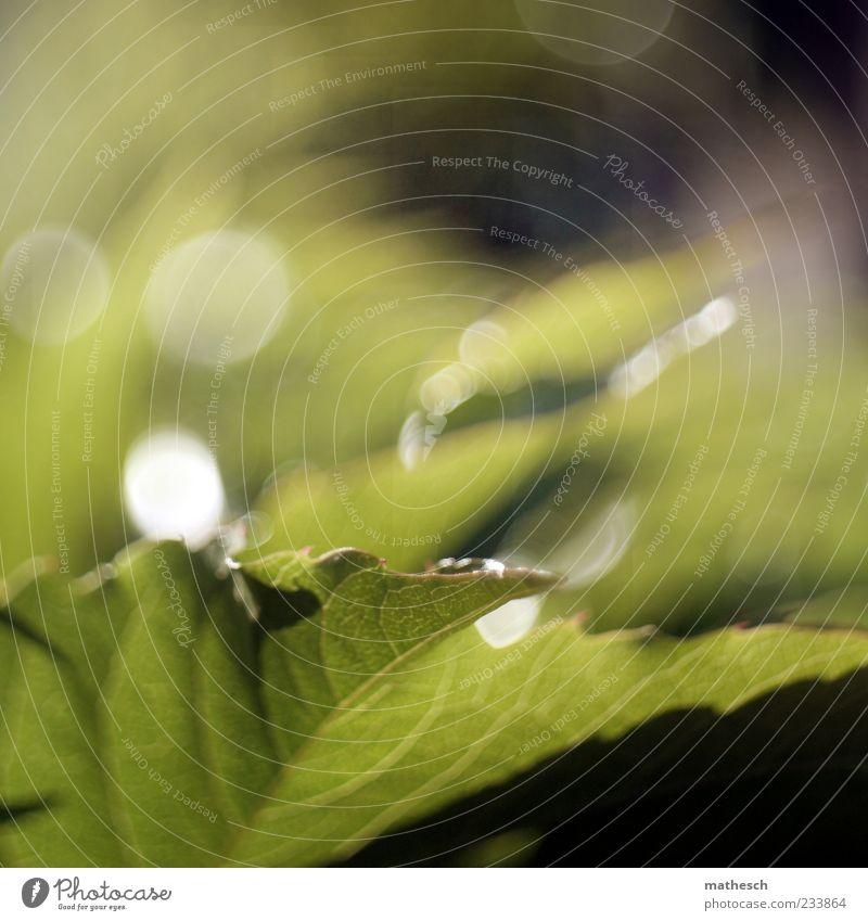 Raupenparadies (free lensing) Natur grün Pflanze Blatt saftig Efeu Blattadern Blattgrün