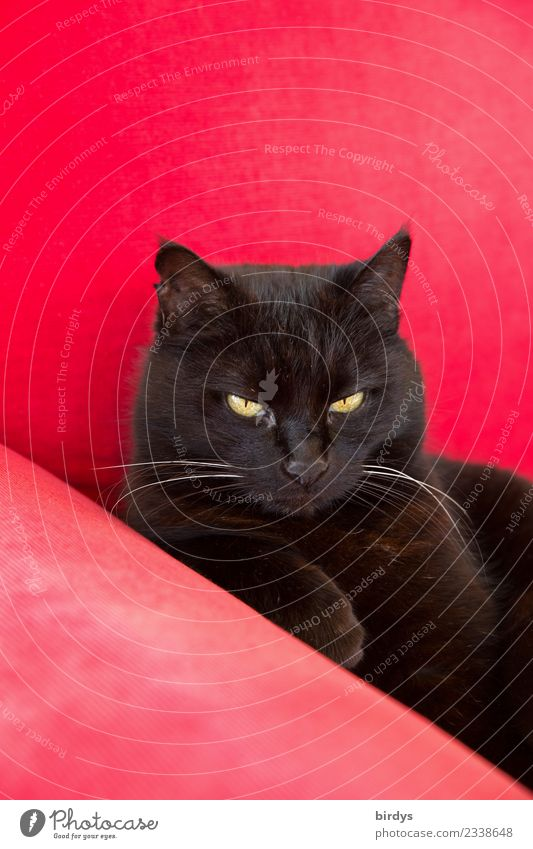 Queen Mona Lifestyle Häusliches Leben Sofa Katze 1 Tier beobachten glänzend liegen Blick ästhetisch authentisch Coolness elegant schön gelb rot schwarz