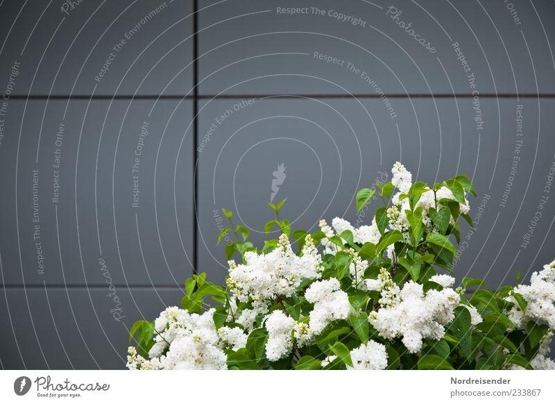 Grafisch angerichtet Design Pflanze Sträucher Fassade Metall Linie Blühend Wachstum Duft elegant frisch grün weiß Fliederbusch Blüte weißer Flieder Frühling