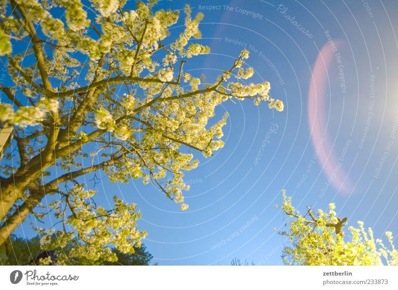 Kirschblüte zur Nacht Himmel Natur Baum Pflanze Garten Blüte Frühling Klima Ast Blühend Zweig Nachthimmel Wolkenloser Himmel Umwelt Kirschblüten Blendenfleck