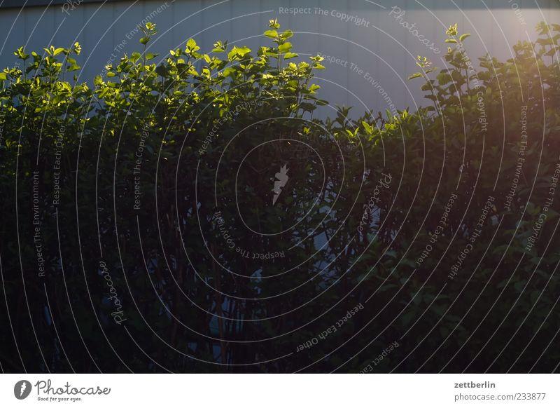 Hecke Umwelt Natur Frühling Sommer Klima Wetter Schönes Wetter Pflanze Sträucher Garten Kleingartenkolonie Schrebergarten Nachbar dunkel Versteck Farbfoto