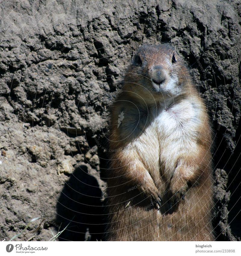 ups Tier braun Felsen niedlich weich Neugier Fell Tiergesicht Zoo Wachsamkeit Pfote achtsam Murmeltier