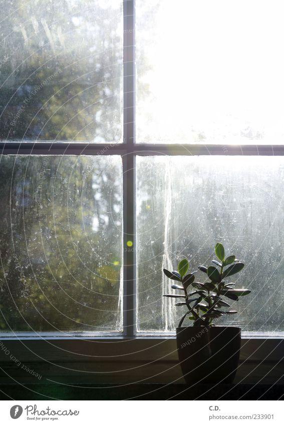 schmutziges Fenster Pflanze Blatt ruhig Fenster dreckig Fensterscheibe Blumentopf Fensterbrett Fensterblick Topfpflanze Sonnenstrahlen Fensterkreuz
