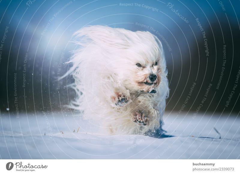 Havaneser tobt im Schnee Winter Tier Fell langhaarig Haustier Hund toben Geschwindigkeit weiß Jung Malteser Sonnenschein Säugetier Aktion havaneser Farbfoto