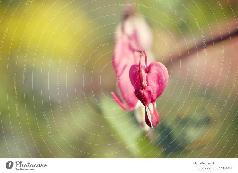 *tropf* Natur Pflanze Blume Blüte Tränendes Herz schön rosa Unschärfe Farbfoto Nahaufnahme Detailaufnahme Menschenleer Textfreiraum links Tag Sonnenlicht