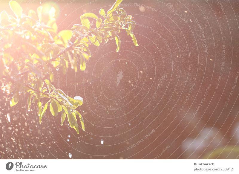 Schatz könntest Du nachher den Wassersprenger anstellen? Pflanze Urelemente Wassertropfen Sonnenlicht Frühling Baum Blatt Nutzpflanze Mirabelle Pflaumenbaum