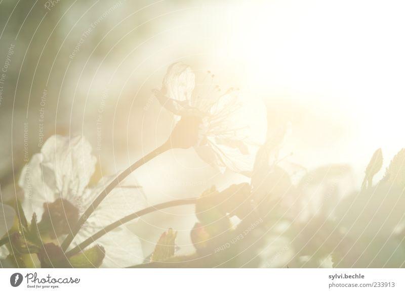 Willkommen im Frühling! - III Natur Pflanze Blatt Umwelt Blüte Wachstum Blühend Gegenlicht Kirschblüten