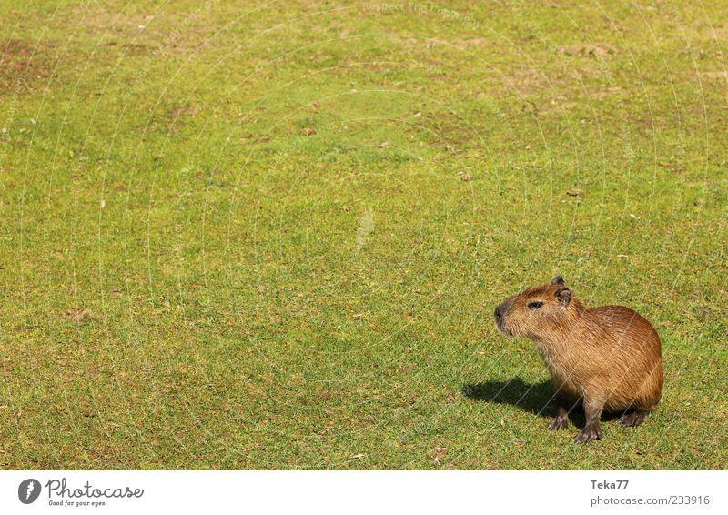 Auf weiter Flur - Wasserschwein daheim grün Sommer ruhig Gras Tierjunges braun sitzen natürlich Wildtier außergewöhnlich niedlich Neugier Fell Gelassenheit