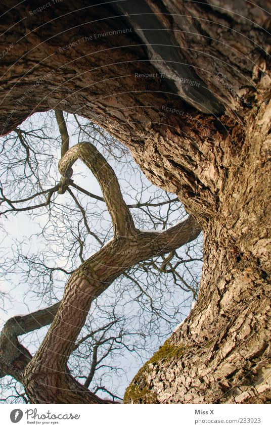 Verschlungen Himmel Natur alt Baum Pflanze Umwelt braun hoch groß Wachstum Ast Zweig Baumrinde gigantisch Windung Eiche