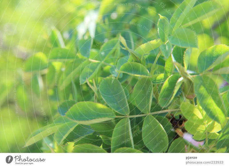 Blättermeer Natur grün Pflanze Sommer Blatt gelb Frühling natürlich Schönes Wetter Wildpflanze Perspektive Klima