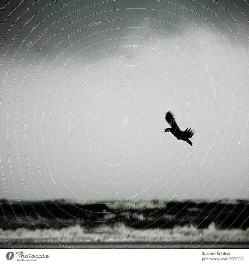 Spiekeroog | Mr. Krabs dunkel Küste fliegen Flügel Wildtier Jagd Nordsee Schnabel Brandung tragen Futter Rabenvögel Beute Krabbe Beutejagd