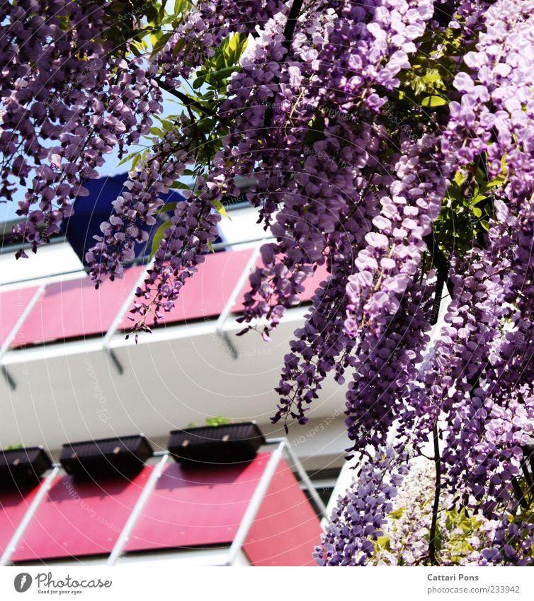 Girls Only! Blume Blatt Blüte Haus Balkon rosa violett Blumenkasten Farbfoto Außenaufnahme Menschenleer Tag herunterhängend Froschperspektive