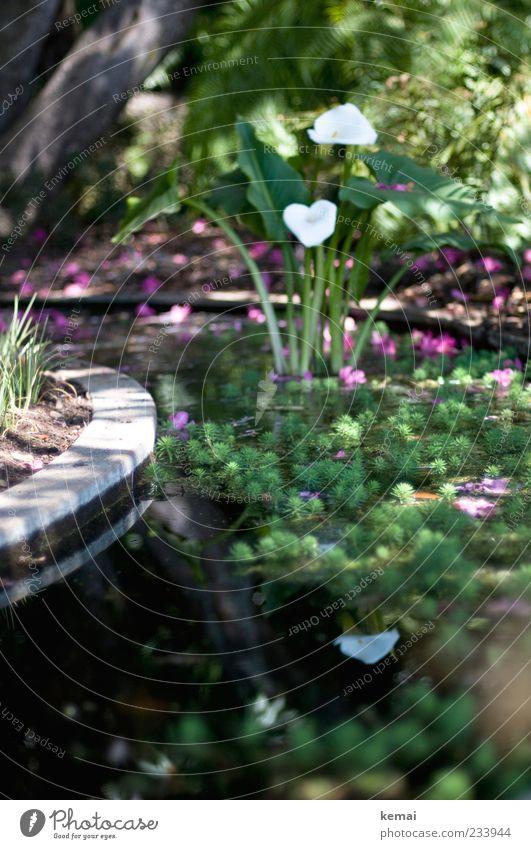 Im Brunnen Natur Wasser weiß grün Pflanze Sonne Sommer Blume Blatt Umwelt Landschaft Garten Blüte Park nass Wachstum