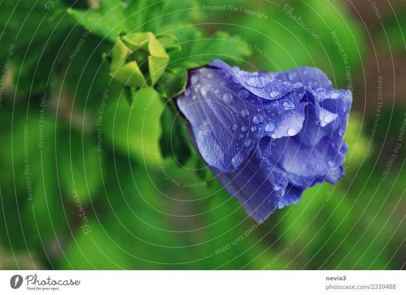 Blaue Blüte bedeckt mit Wassertropfen Umwelt Natur Pflanze Frühling Sommer Klima Wetter schlechtes Wetter Blume Sträucher Blatt Grünpflanze Garten Park