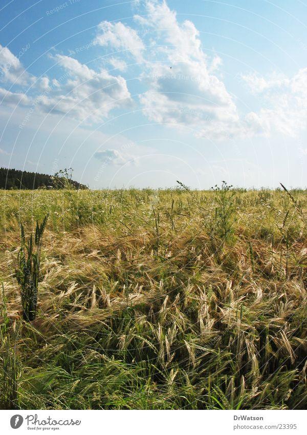 Sommerfeld Feld Idylle Landwirtschaft Weizen ländlich Roggen Hafer Sommerhimmel