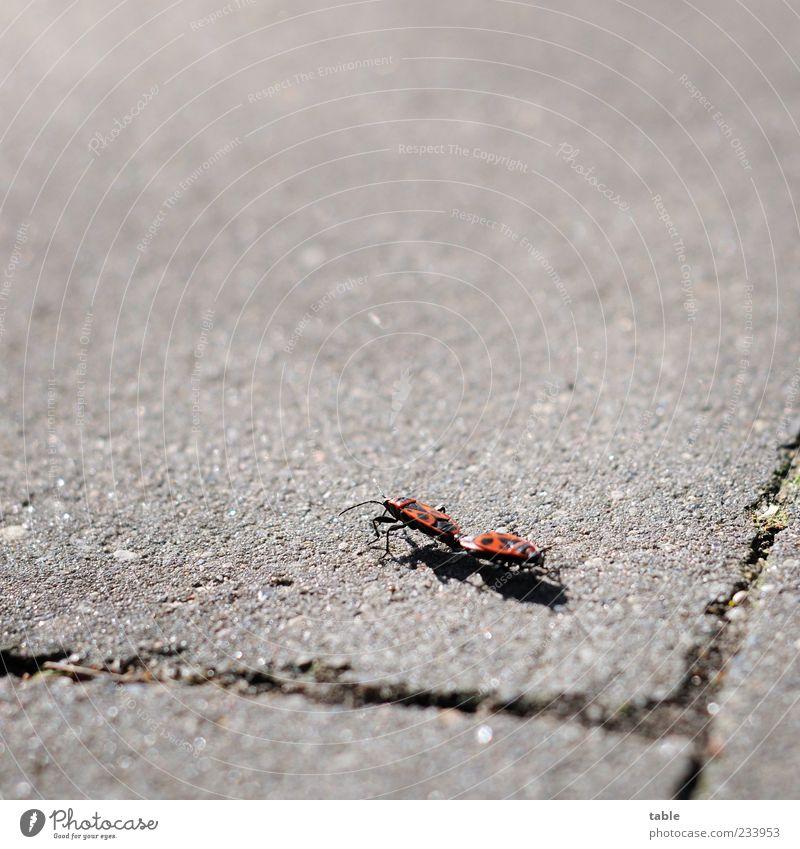 zu dir oder zu mir . . . Natur Tier Sommer Schönes Wetter Wildtier Käfer Insekt Feuerwanze 2 Tierpaar Stein Beton Brunft berühren Bewegung krabbeln laufen grau